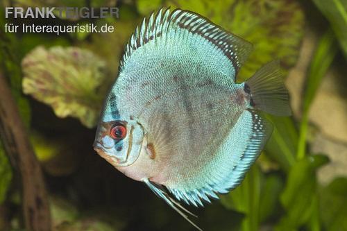 Diskusfisch in blauer Farbe