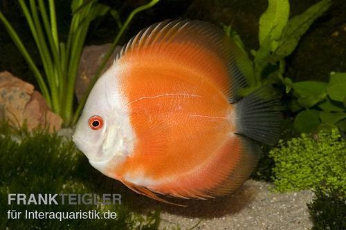 Symphysodon discus sind die Königsdisziplin der Aquaristik