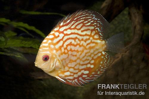 Bei und gibt es asiatische Diskusfische und europäische Nachzuchten