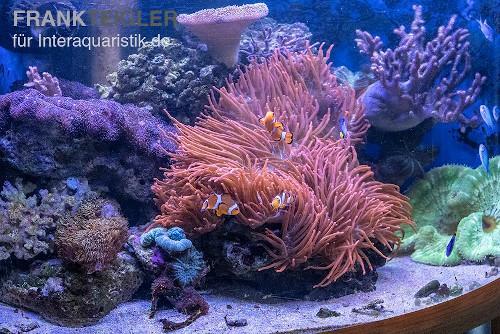 Meerwasserfische im Aquarium sind immer ein Hingucker