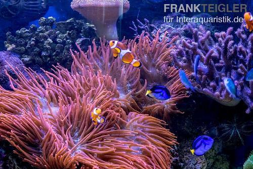 Neben Meerwasserfischen sind auch Anemonen beliebt