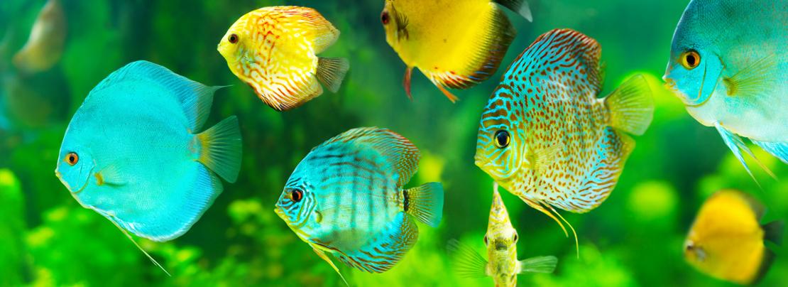 Diskusfische - Haltung und Zucht